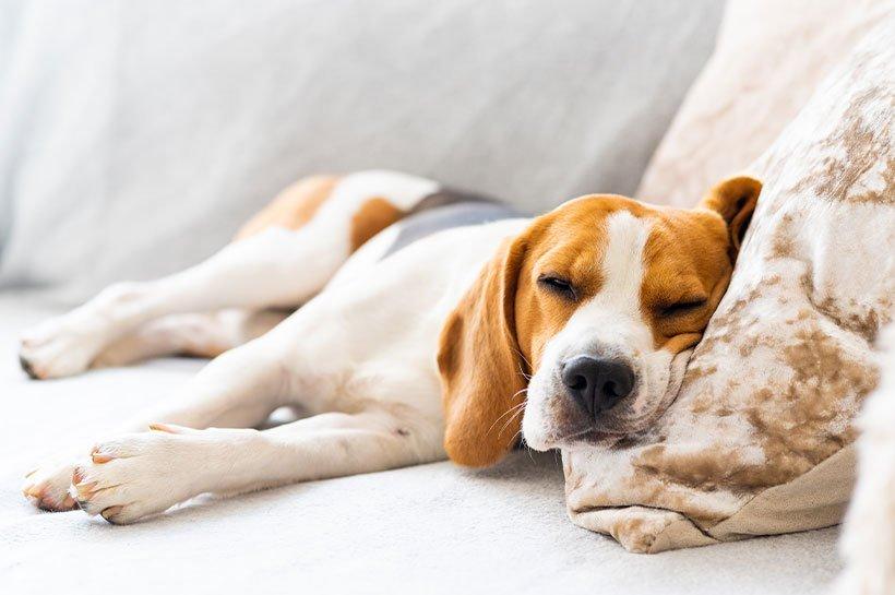 Chien de race Beagle en train de dormir sur le canapé
