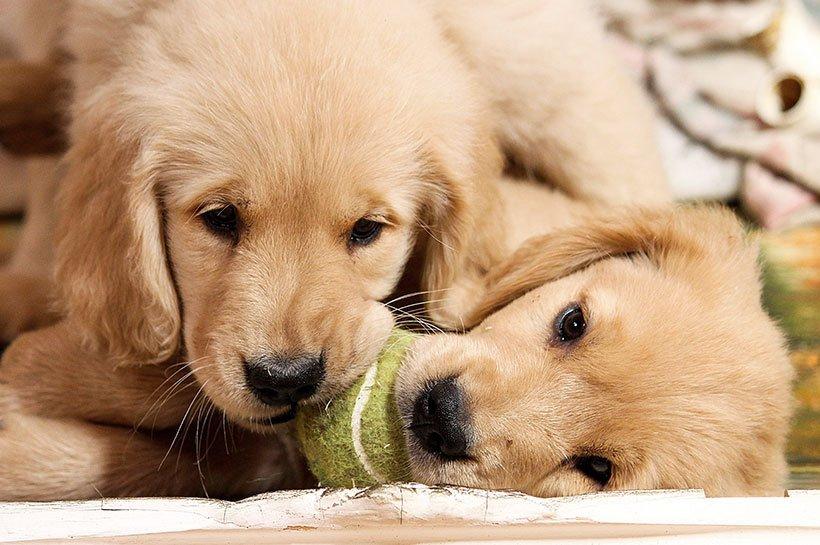 Deux adorables chiots golden retriever qui mâchouillent ensemble une balle de tennis