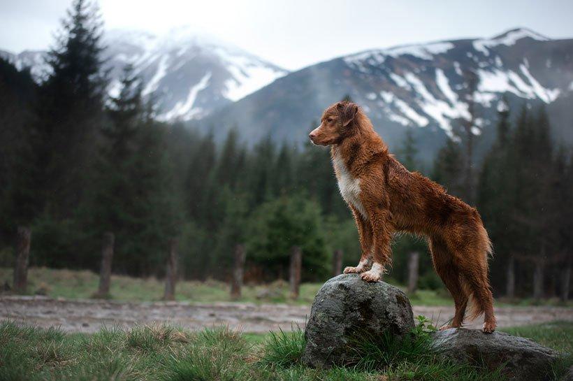 Chien qui observe lors d'une randonnée en montagne