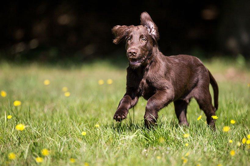 Un chien en train de courir dans une prairie