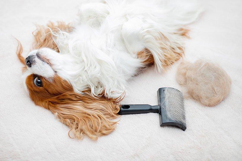 Petit chien couché sur le dos à côté d'une brosse