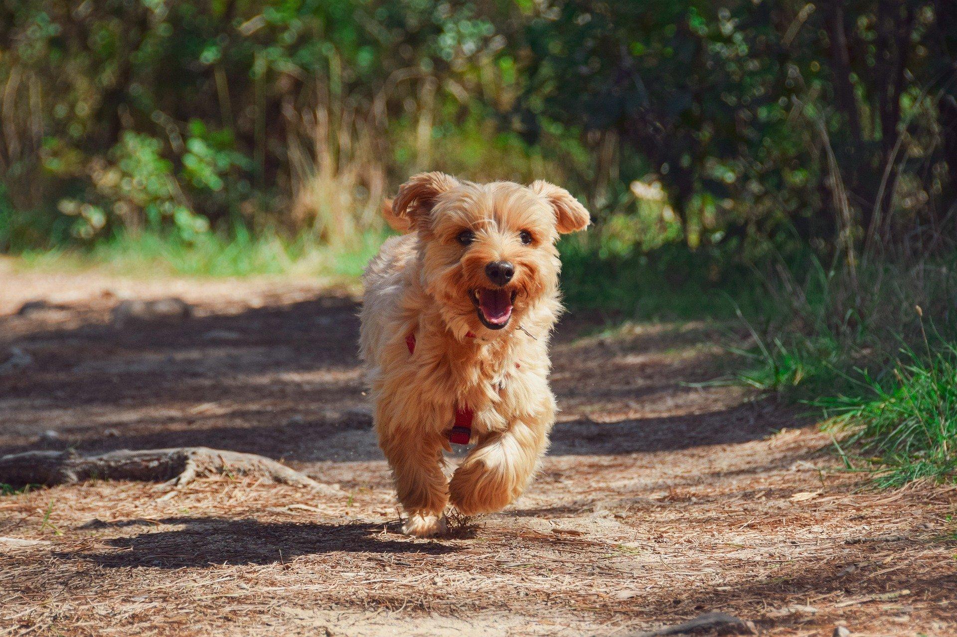 Un chien de race Terrier en train de courir sur un chemin