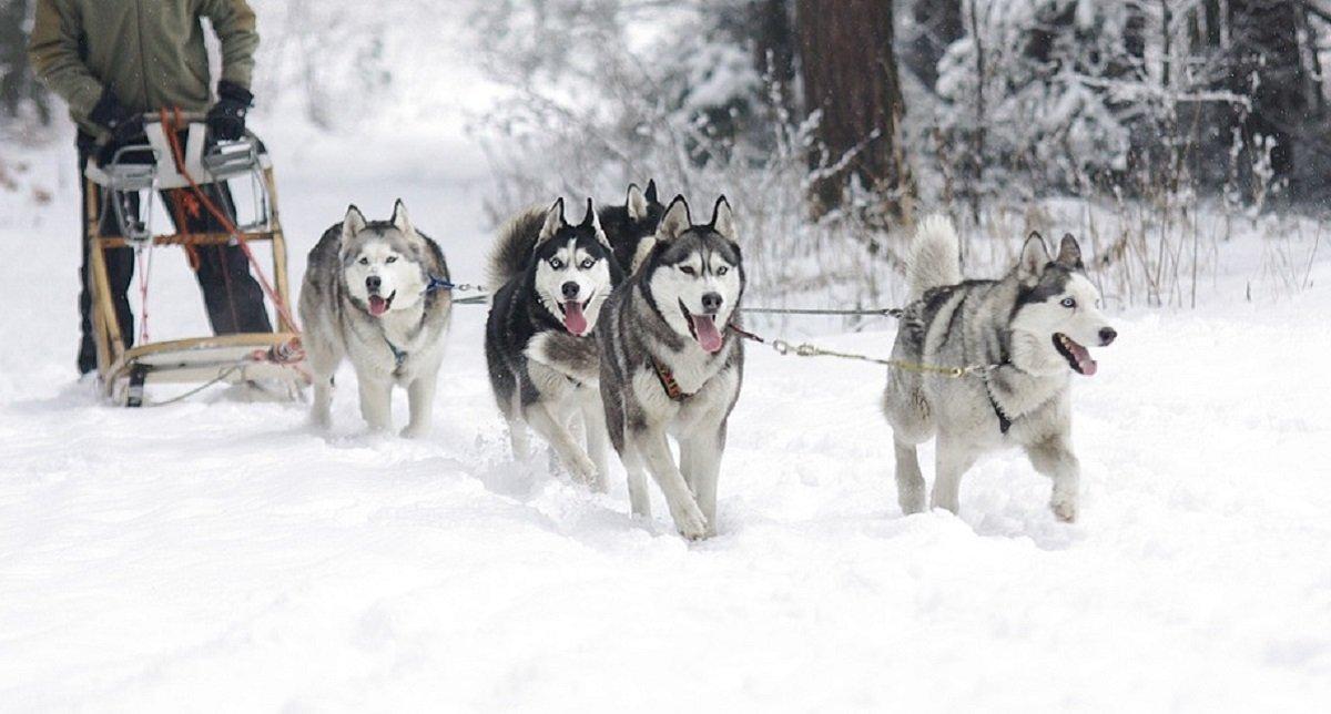 alaska chien de traineau