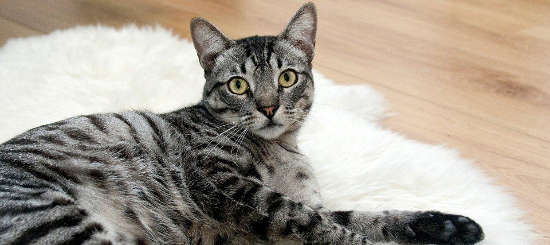 Coronavirus - Un danger pour les chats ?