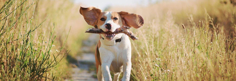 Maladie de Lyme chez le chien : symptômes, évolution de la maladie et traitement