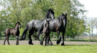 Frison : physique du cheval, caractère, dressage, alimentation, entretien, maladies héréditaires du cheval