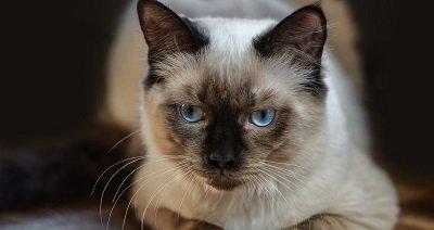 Le chat ragdoll