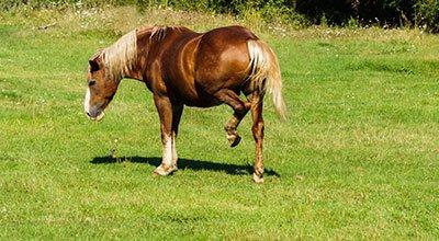 Le Shivering, la maladie du tremblement du cheval : symptômes, causes et traitement
