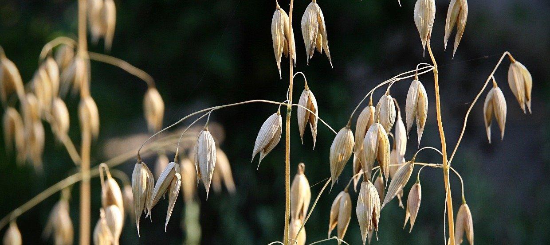 Alimentation sans céréales pour cheval : inconvénients et risques des céréales, alternatives