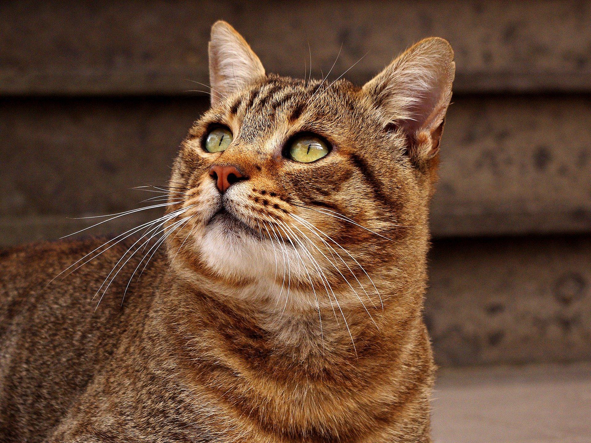 Chat Européen ou European Shorthair : un chat actif, équilibré et affectueux