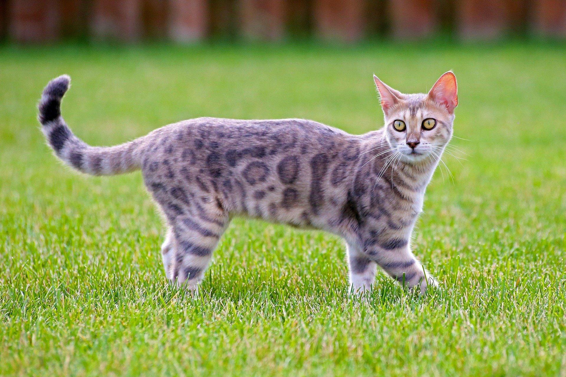 Le chat Bengal, un fauve en miniature