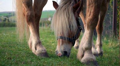 Fourbure du cheval : causes, symptômes, alimentation, prévention