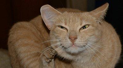 L'acné du chat : comment la dépister et la soigner ?