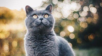 Le chat à poils courts : quelle race choisir ?