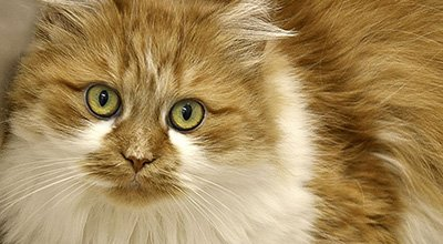 Le chat à poils longs