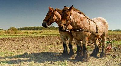 Les chevaux de trait en France : du Comtois au Percheron en passant par le Cob normand
