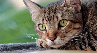 Coryza du chat : symptômes, transmission, comment le soigner, prévention
