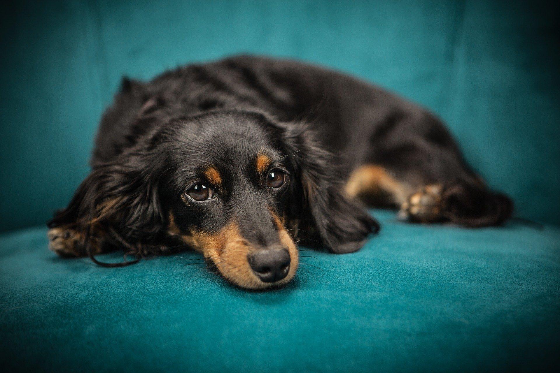 Mon chien a des puces : comment le savoir ? Comment s'en débarrasser ? Que faire ?