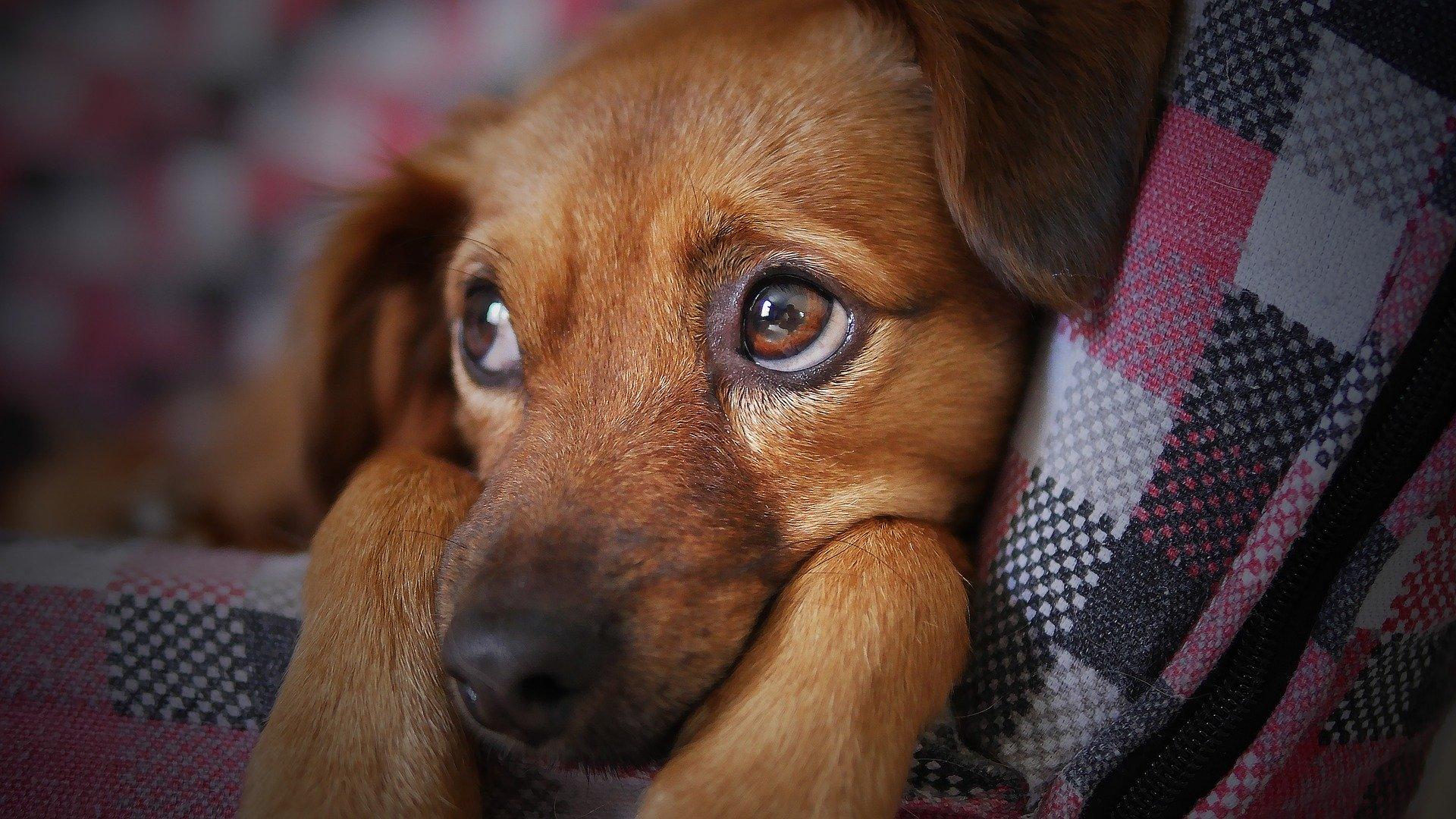 Chien en chaleur: reconnaître et calmer le chien en rut