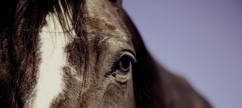 Durée de vie d'un cheval : combien de temps vit-il ?