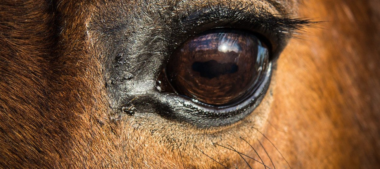 Durée de vie d'un cheval : vieillesse, alimentation, santé