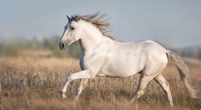 Lusitanien, le cheval portugais pour le dressage et l'équitation de travail