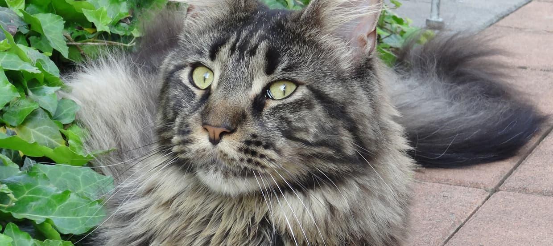 Maine Coon : un chat de grande taille sociable, intelligent et joueur