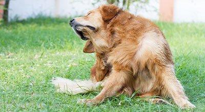 Otite chez le chien : recourir à un remède maison ou aller directement chez le vétérinaire ?