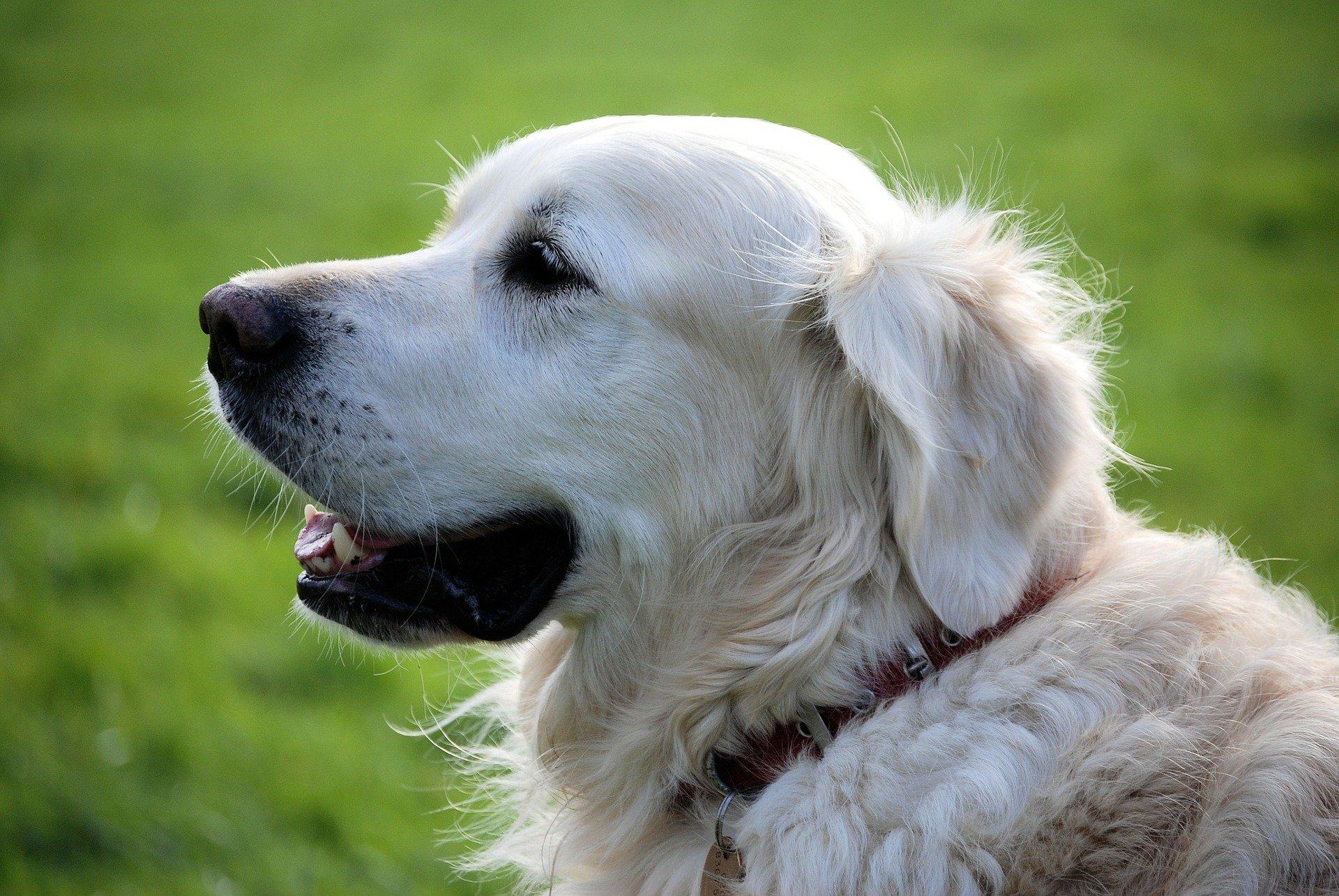 Âge du chien: calcul en équivalent humain, âge adulte et vieillesse