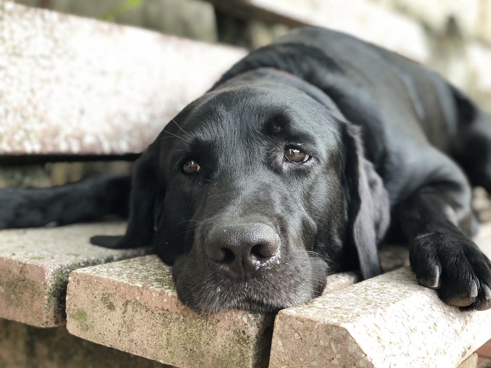 Teigne du chien : symptômes, contagion, diagnostic, traitement, prévention