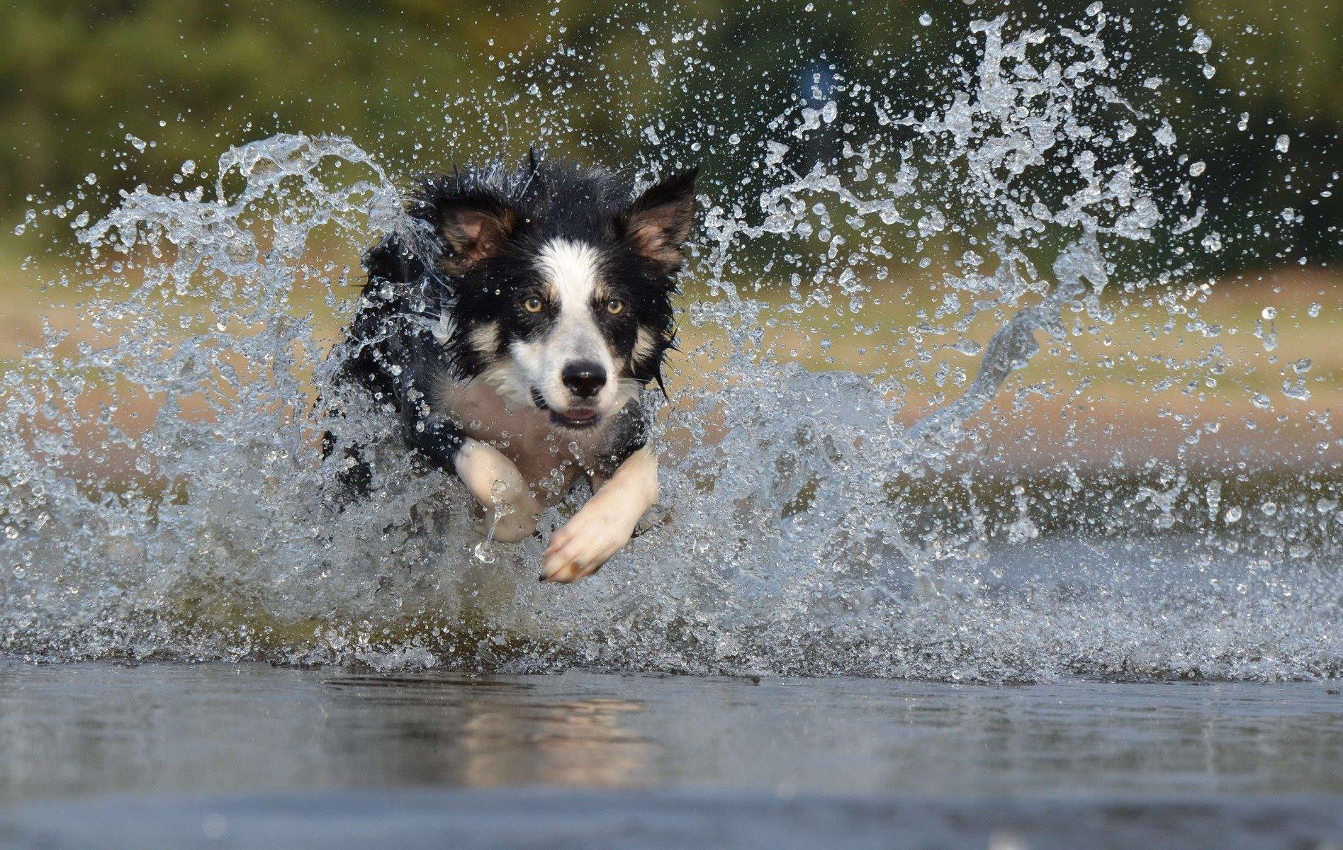 Border Collie qui court dans l'eau