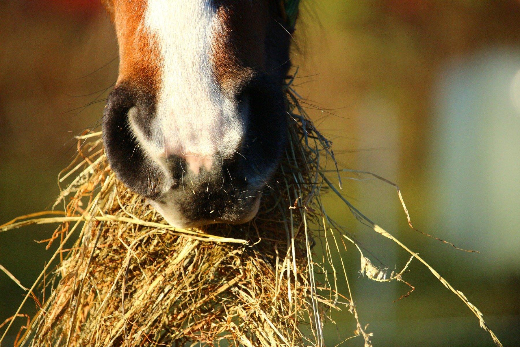 Le cheval mange du foin