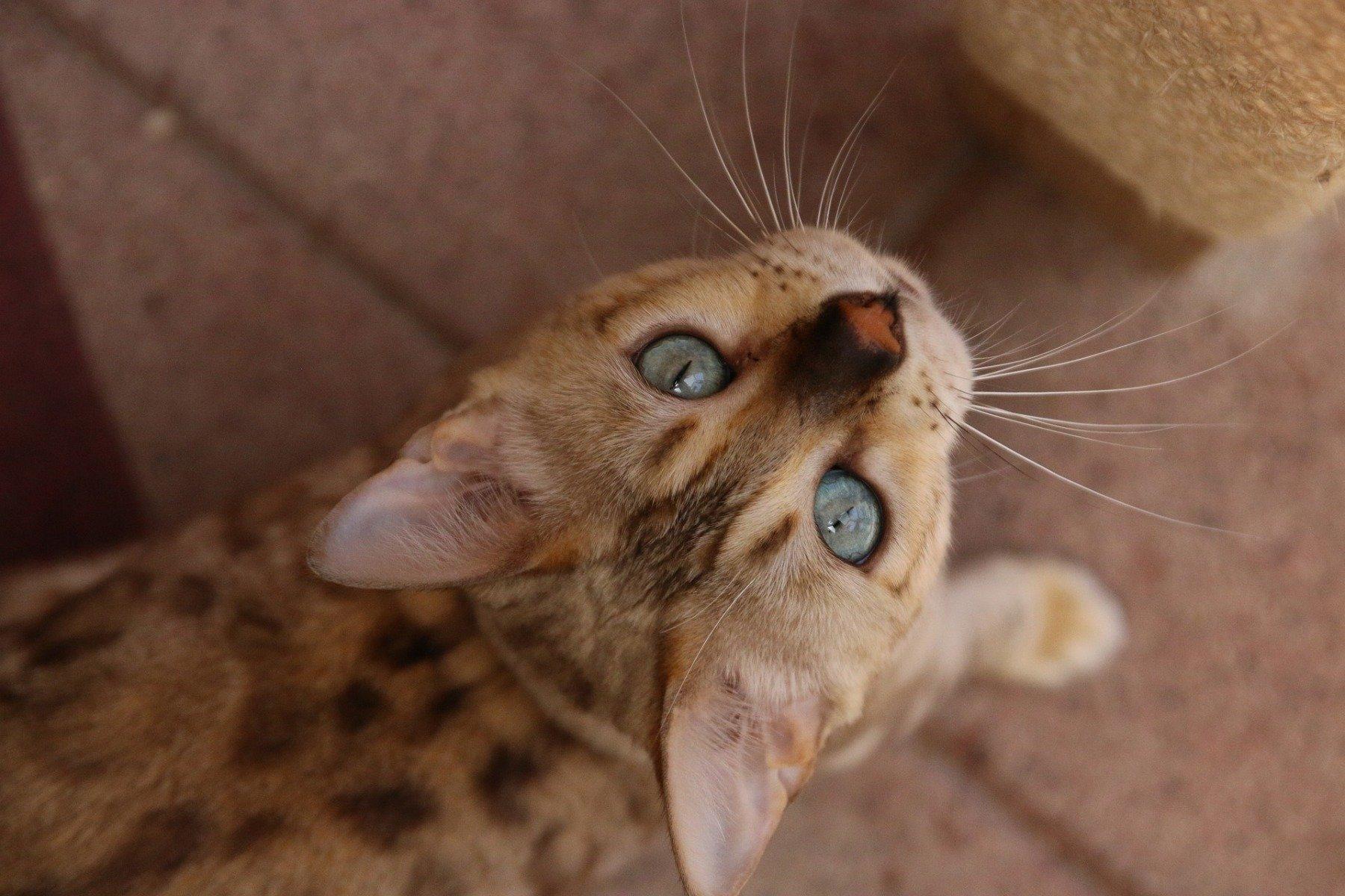 Le Chat Bengal Fauve En Miniature Calin Et Joueur